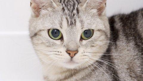 Кошка, морда, глаза, котенок