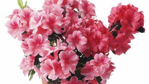 Азалия, розовый, цветы