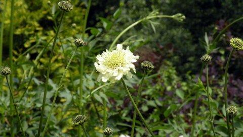 Цветок, белый, трава, растение