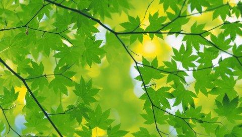 Клен, листья, ветка, зеленый