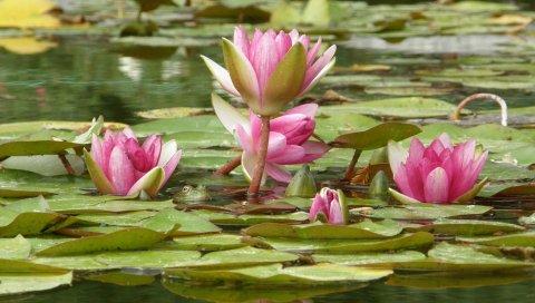 лилия, цветы, болтовая, лепестки, вода