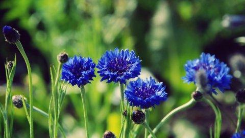 цветы, синий, бутоны, стебли