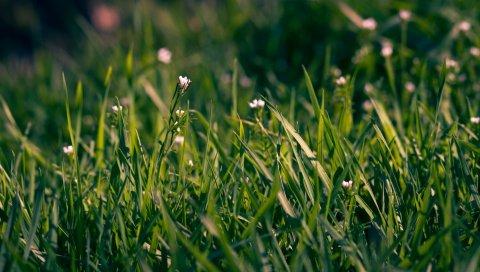 трава, цветы, маленькие, поле