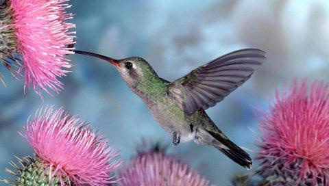 колибри, птица качели, полета