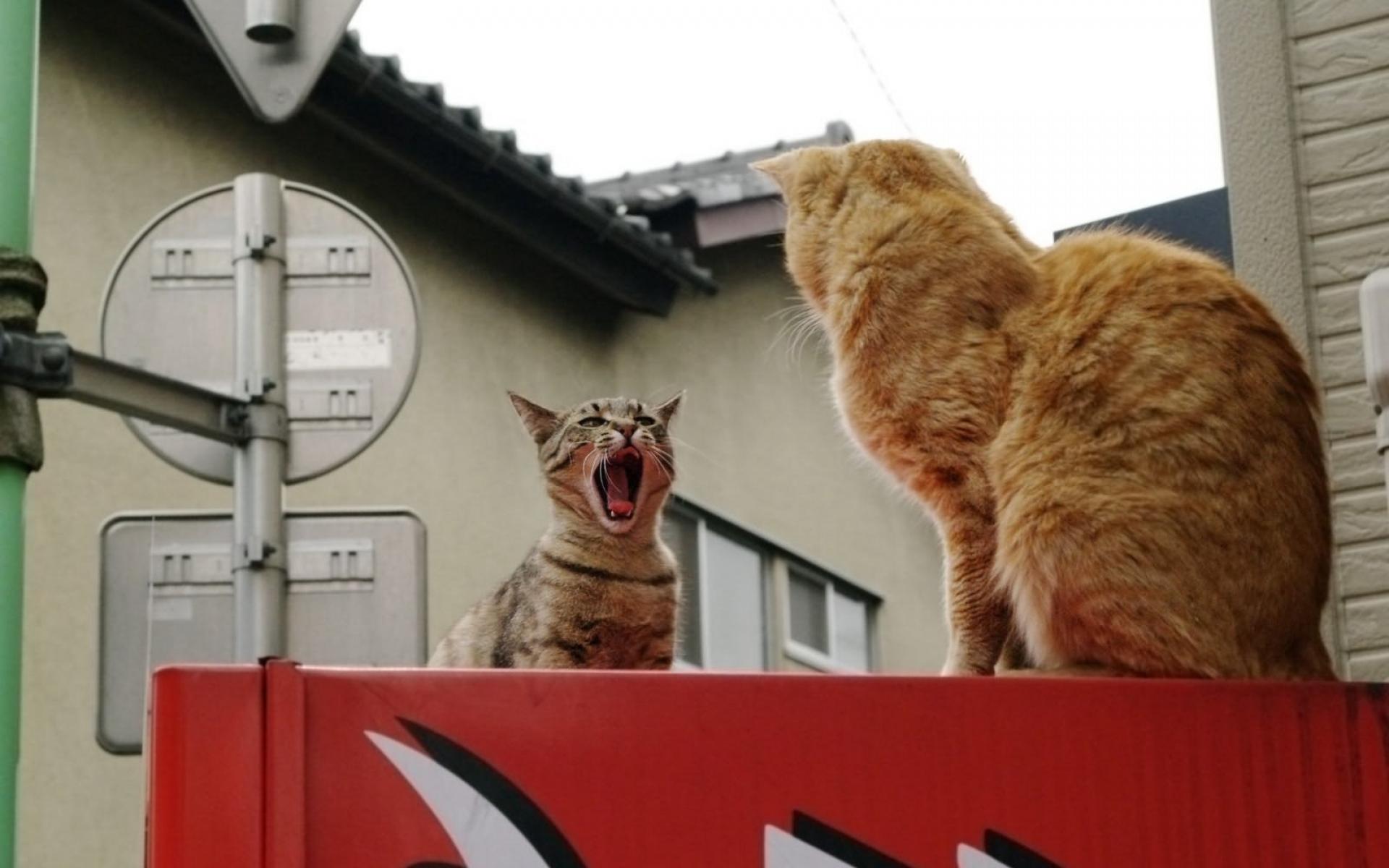 Картинки кошки, борьба, крик, пара фото и обои на рабочий стол