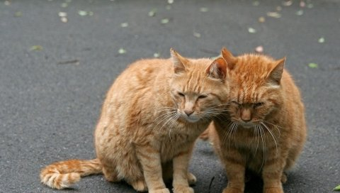 кошку, пара, нежность, забота