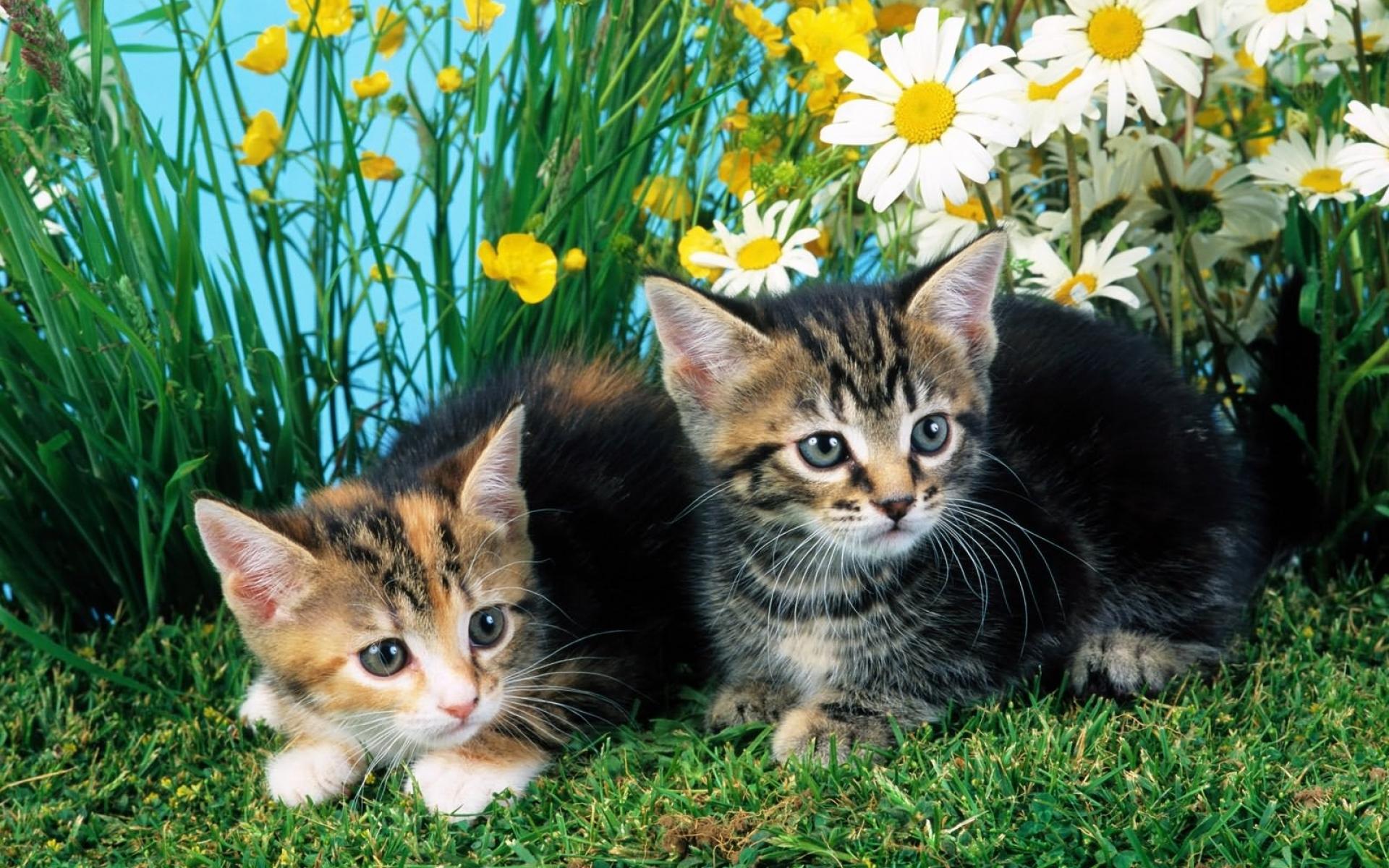 котенок корзина ромашки kitten basket chamomile скачать