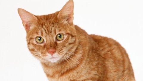 Кошка, имбирь, табби, глаза