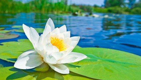 Лилия, цветок, листья, вода