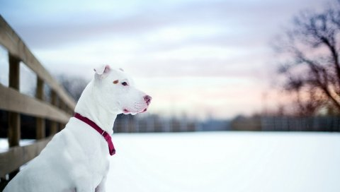собака, снег, зима