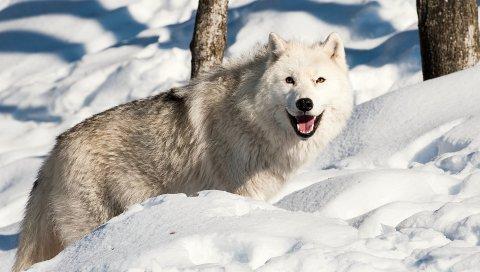 собака, волк, снег, зима