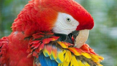 попугаи, яркие, цвета, перья