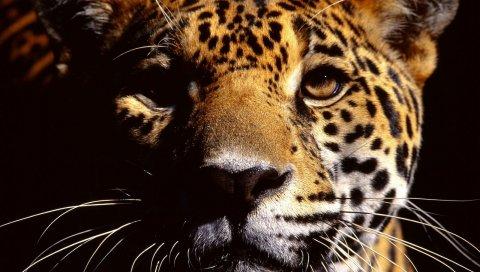 ягуара, лицо, тень