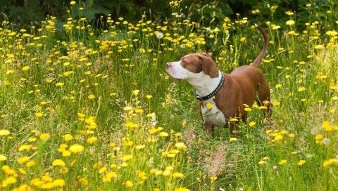 Собака, трава, цветы