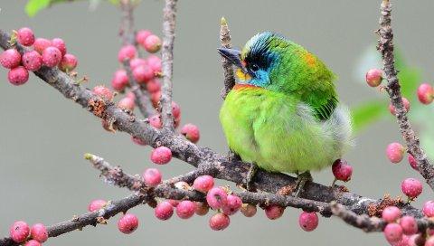 Птица, ветка, ягоды, разноцветные