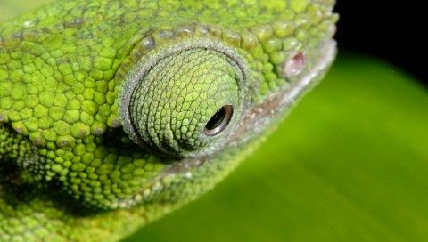 Хамелеон, цвет, глаза