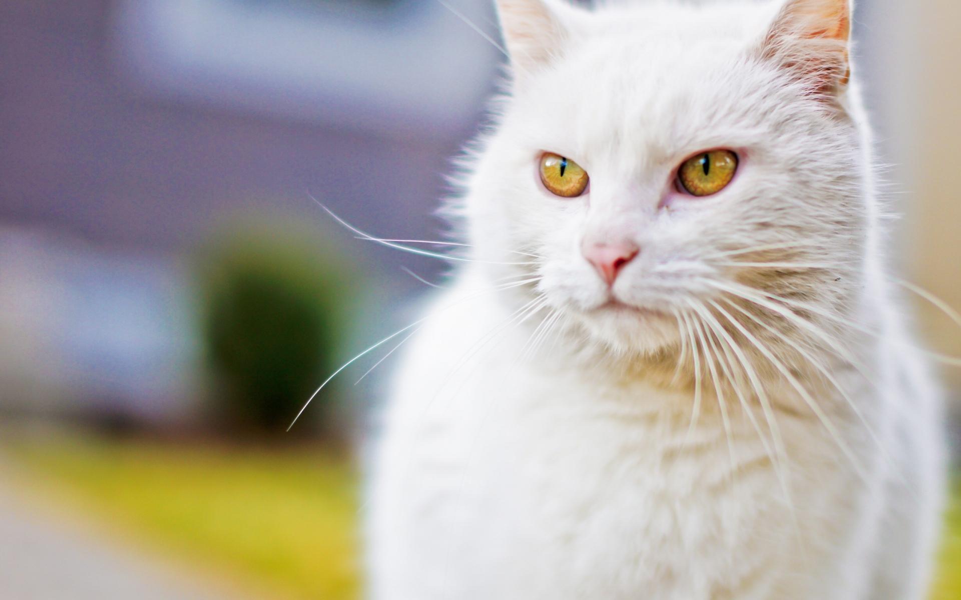 картинка на рабочий стол котики белые является одним