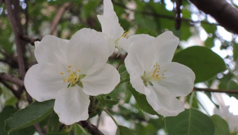 Яблоня, цветок, листья, ветки
