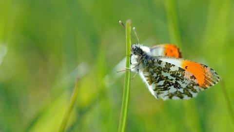 Бабочка, растения, трава, крылья