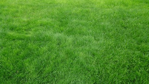 Зерно, трава, поле, зеленый