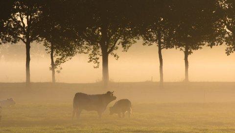 Быки, трава, туман, лес, поле, деревья