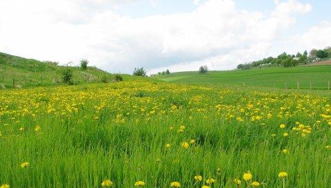 поле, трава, одуванчики, цветы, природа, пейзаж