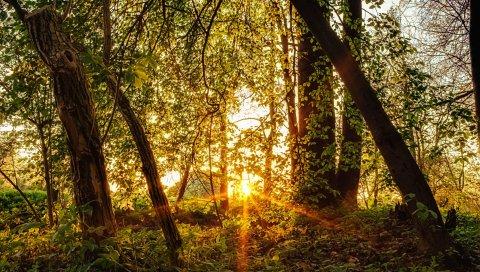 лес, деревья, солнце, лучи ,