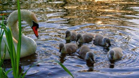 Лебедь, молодые, птенцы, вода, трава
