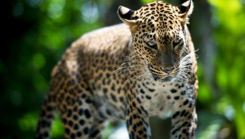 Леопард, хищник, прогулка