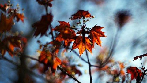 Макро, осень, клен, боке, природа, листья, ветки