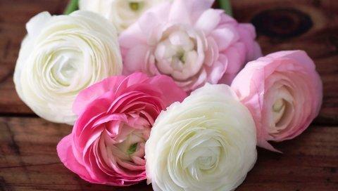 лютик, лютик, цветы, бутоны, лепестки, белые, розовые