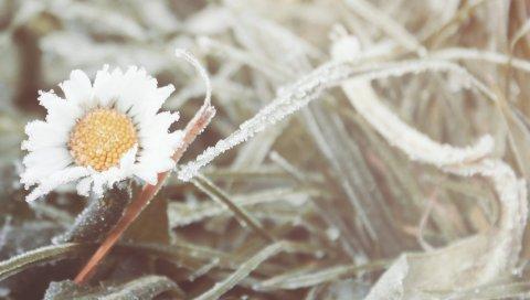 цветок, ромашка, мороз, трава, холодный