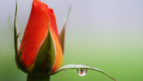 цветок, роза, бутон, капли, отражение