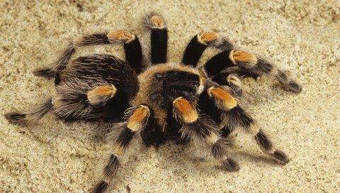 Паук, тарантул, песок
