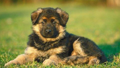 Щенок, собака, трава