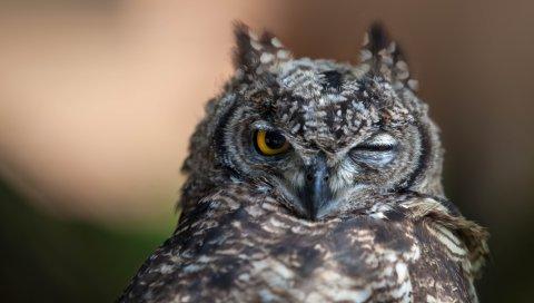 Сова, глаза, птица, хищник