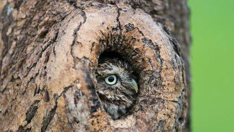 Сова, полая, дерево, клюв