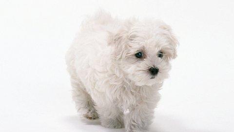 Собака, белый фон, белый
