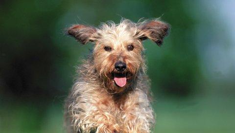 Собака, бег, трава