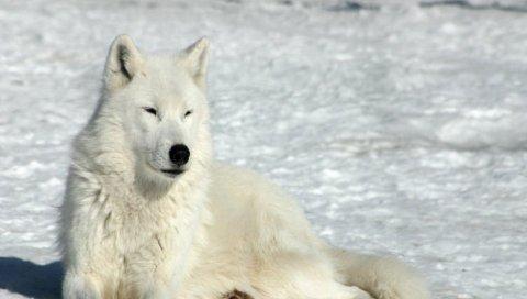 Снег, волк, лежа, зима