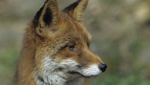 лисица, крупный план, лицо