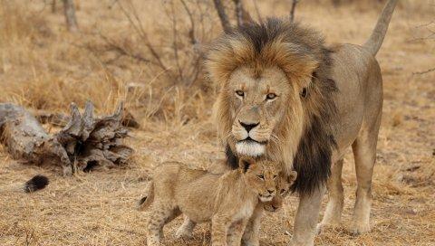 лев, мужчина, львята, семья, африки, хищники