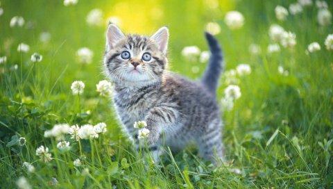 котенок, трава, цветы, полосатый