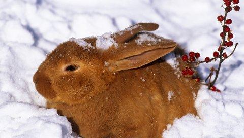 зимой, заяц,кролик, снег, ягоды, красный