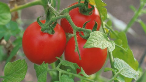 помидоры , огород, три