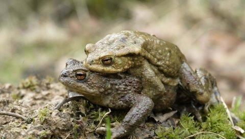 жабы, любовь, пара, трава