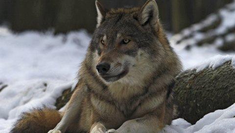 волков, мужчина, лидер, зима, лес
