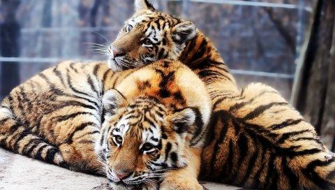 тигра, пара, молодые, ложь