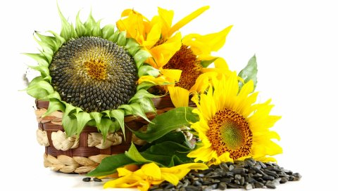 корзина, цветы, подсолнухи, семена подсолнечника,белый фон
