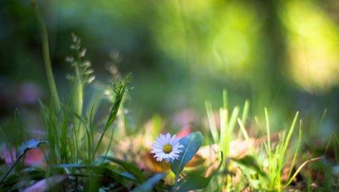 природа, растения, макро, цветок, трава
